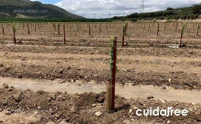 Plantación de almendros en Granada
