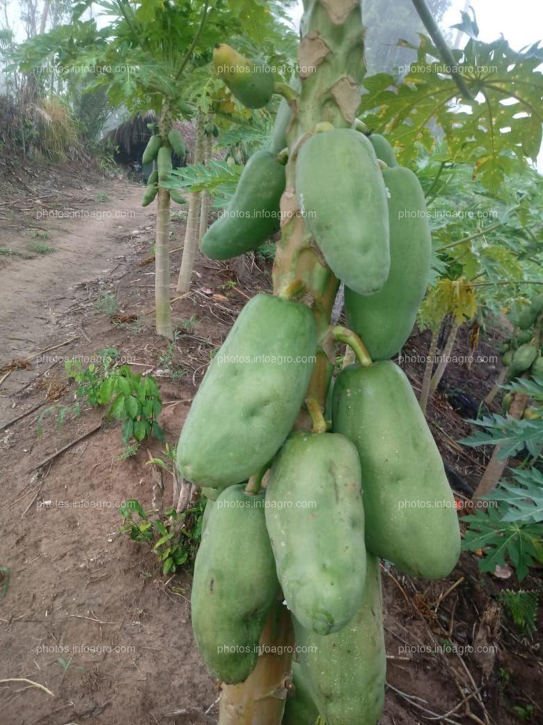 Papaya Verde