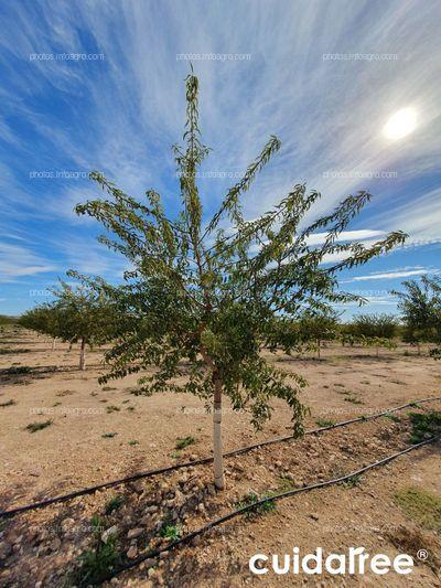 Plantación de almendro de la variedad avijor en Tobarra