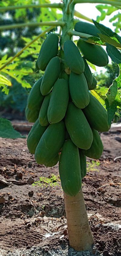 Fruta verde buena calidad