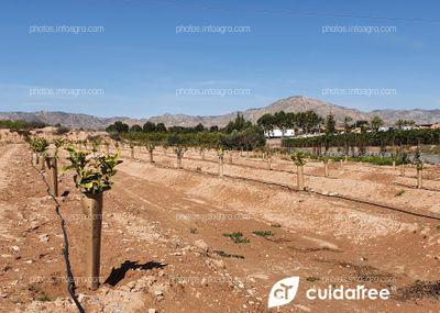 Plantación Limón Beri.