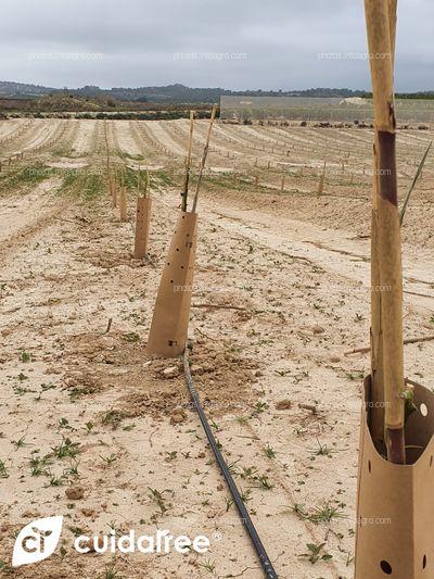Plantación de limón Eureka en Torremendo al sur de la provincia de Alicante