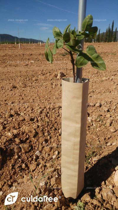 Plantación de 7.220 pistachos realizada en Caravaca de la Cruz provincia de Murcia.