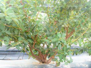 Arbusto del arándano