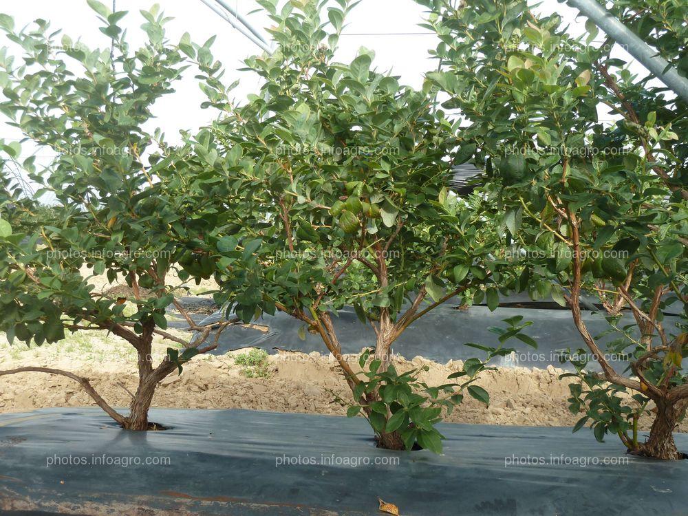 Cultivo del arándano