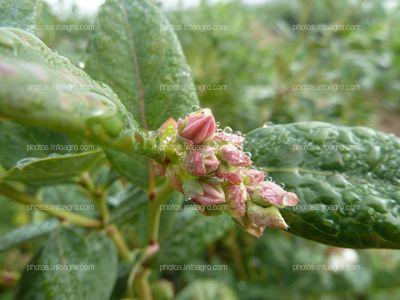Botones florales del arándano