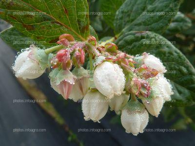 Flores del arándano