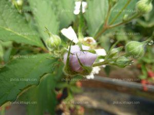 Botón floral de la mora