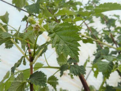 Flor de la frambuesa polinizada