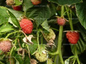 Fruto del frambueso