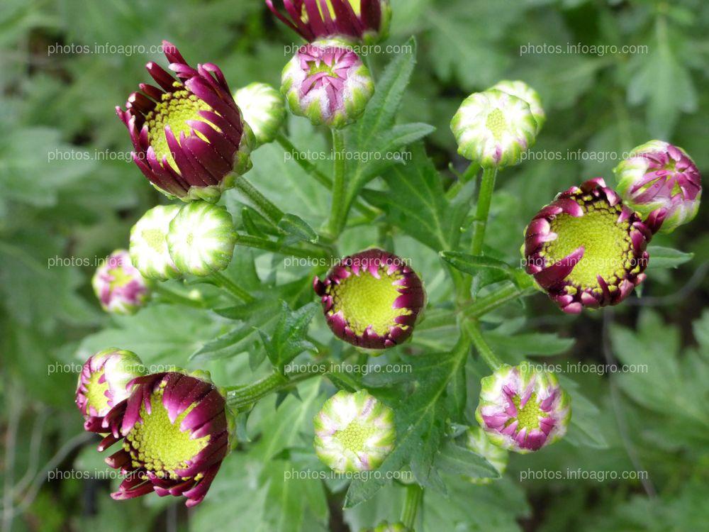 Botones florales de crisantemo