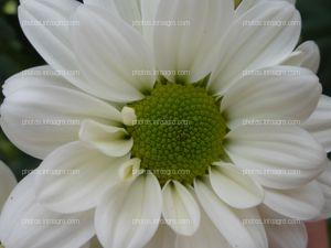 Detalle de la flor del crisantemo