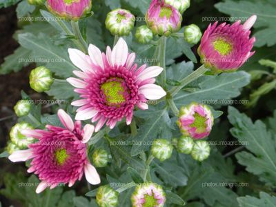 Crisantemo con inflorescencia recurvada