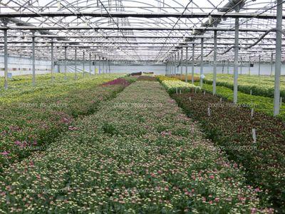 Cultivo de crisantemo
