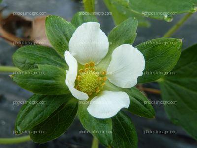 Flor de la fresa no polinizada
