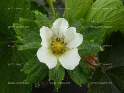 Flor de la fresa polinizada