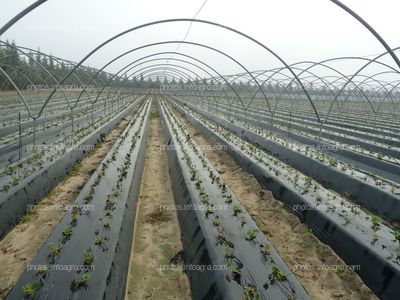 Cultivo de la fresa con raíz desnuda