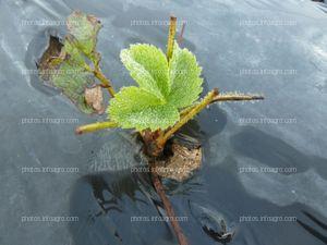 Planta de la fresa de raíz desnuda con 8 días