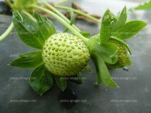 Fruto de fresa inmaduro
