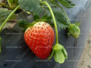 Fruto de fresa maduro