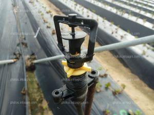 Microaspersor usado en el cultivo de la fresa
