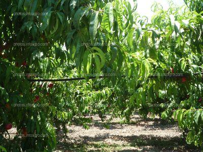 Sistema de riego para el cultivo de nectarinas