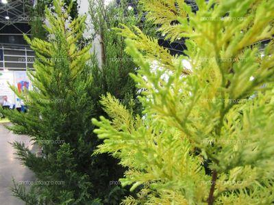 Abetos para jardín en Iberflora 2019