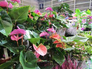 Plantas de Anthurium expuestas en Iberflora 2019