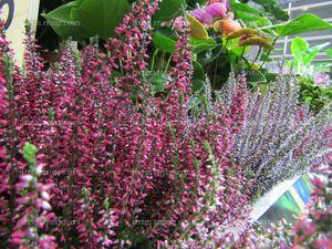 Plantas de Agastache rosa expuestas en Iberflora 2019