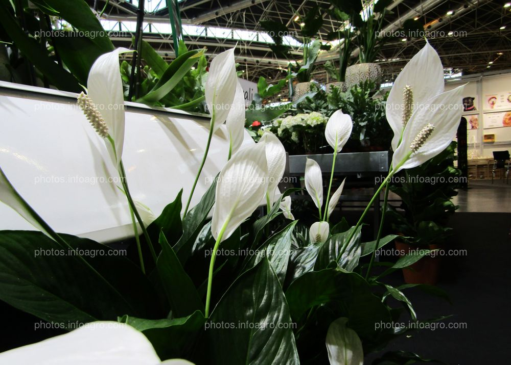 Planta de Anthurium blanca expuesta en Iberflora 2019
