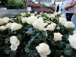 Rosales con rosas blancas expuestos en Iberlofra 2019