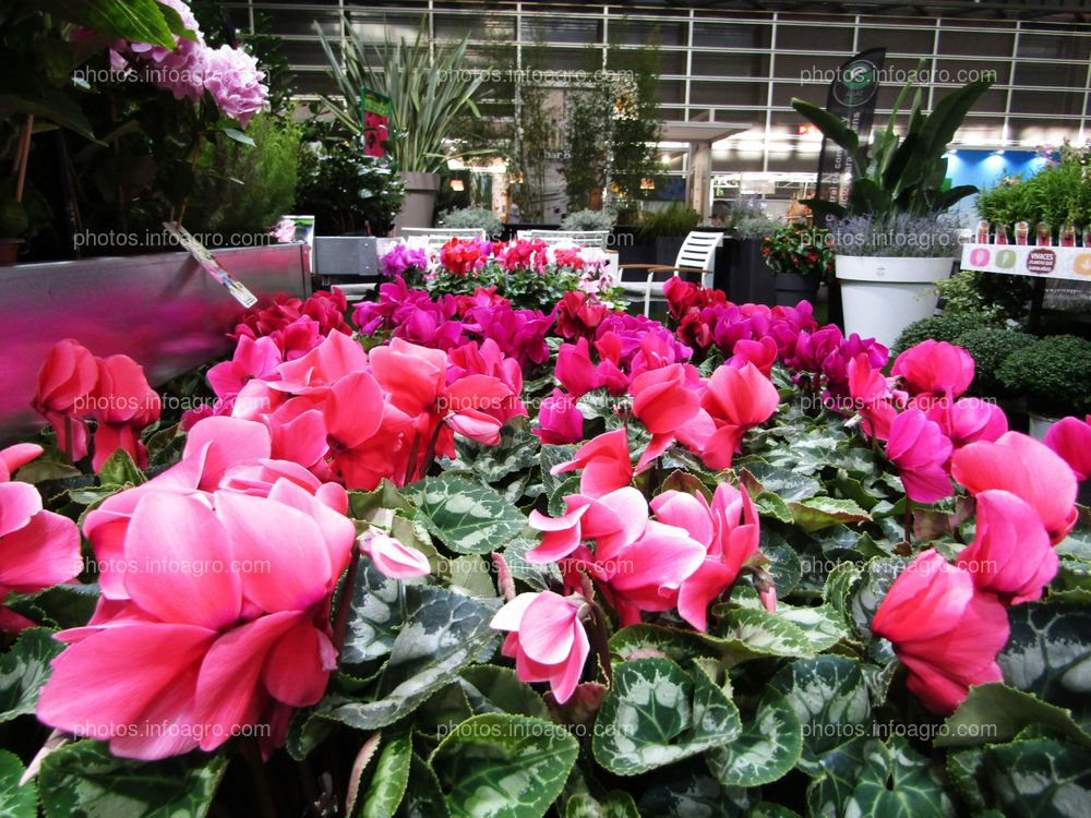 Plantas de ciclamen expuestas en Iberflora 2019