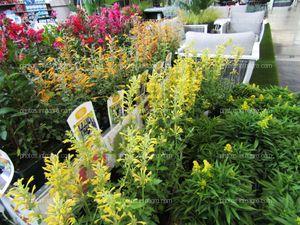 Agastaches de diferentes colores expuestos en Iberflora 2019