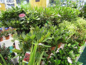 Plantas de rododrendros o azaleas, expuestas en Iberflora 2019
