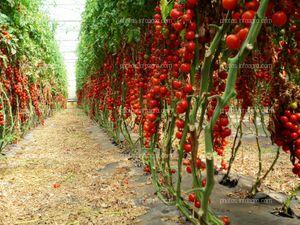 Fruto de tomate en tomatera