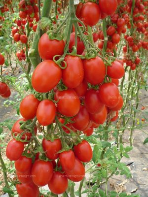 Tomates tipo pera en planta