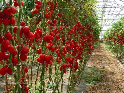 Hilera de tomates tipo pera