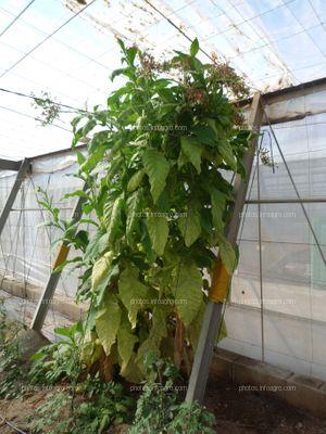 Reservorio planta de tabaco para tomate