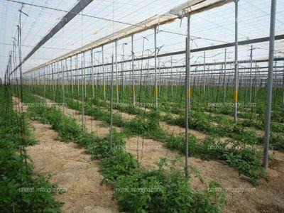 Invernadero de tomate
