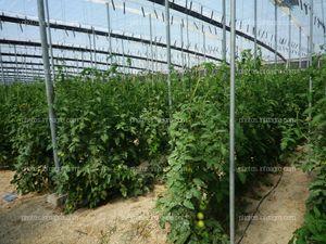 Perchas en invernadero de tomate