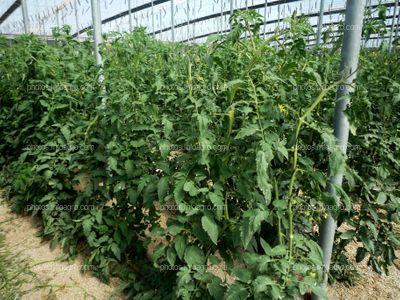 Plantas en invernadero de tomate
