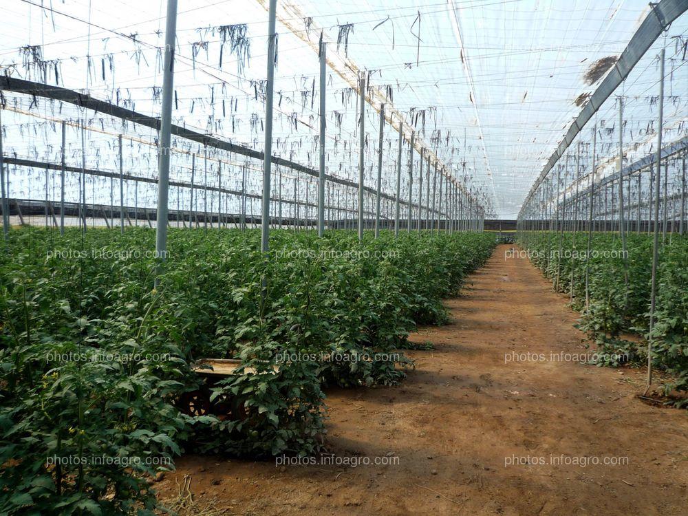 Invernadero tipo parral de tomateras