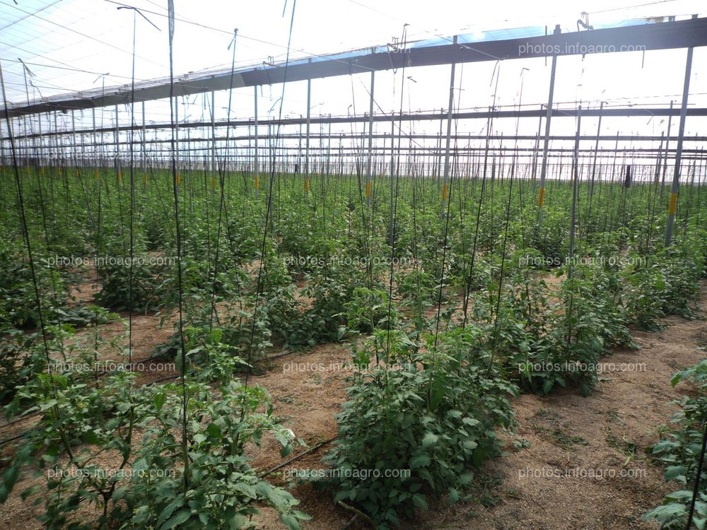 Plantación de tomate en invernadero