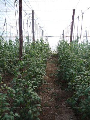 Línea de tomateras en invernadero