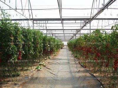 Plantación de tomate entutorado