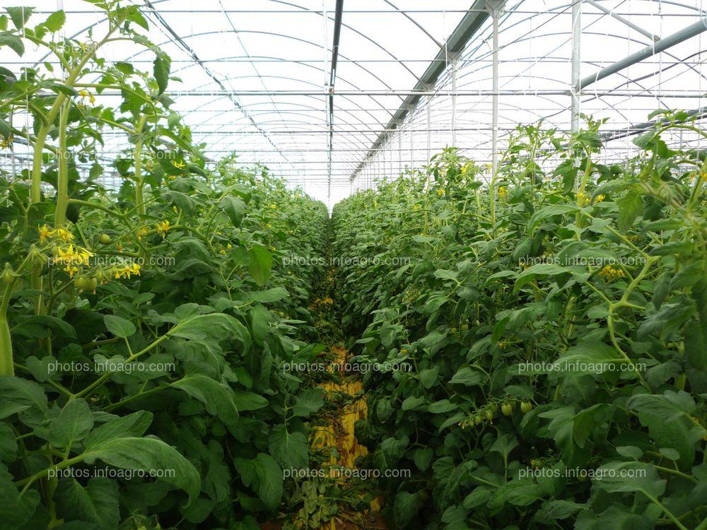Plantas de tomate en invernadero