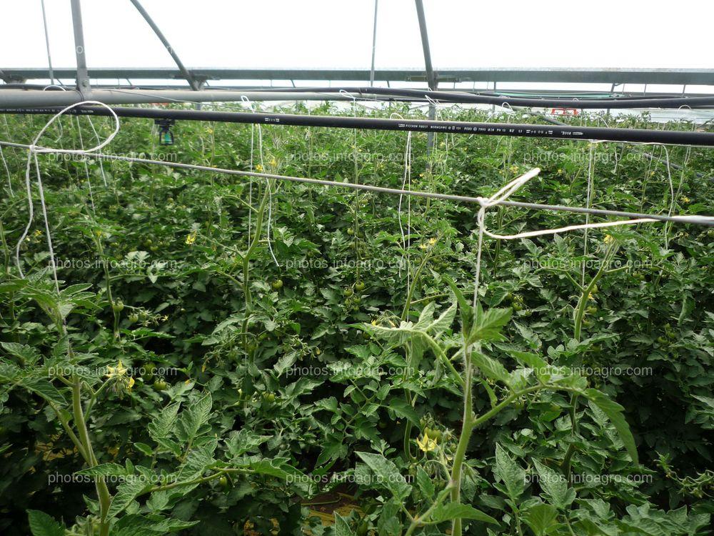 Vista de arriba de tomateras