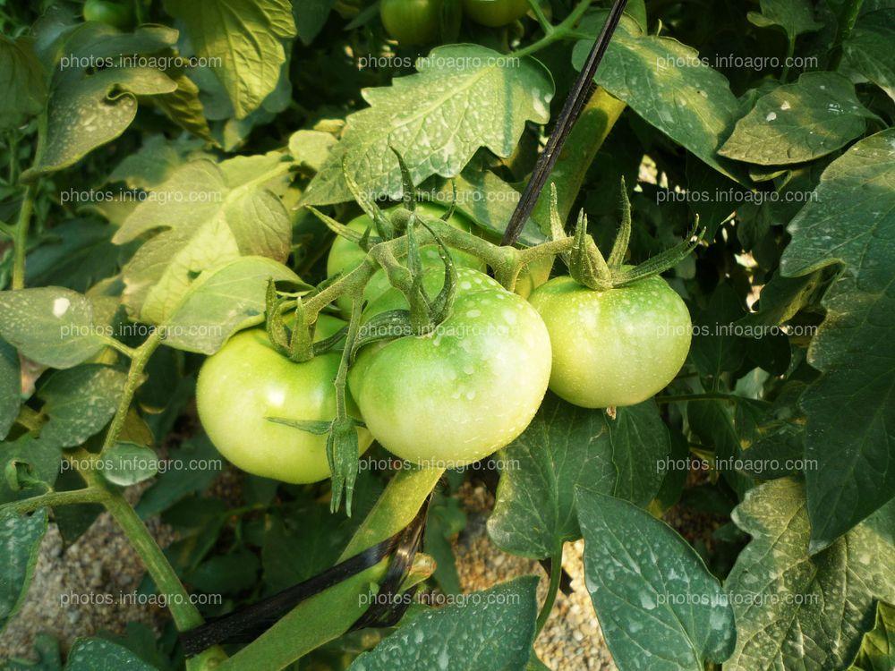 Ramo de tomate verde