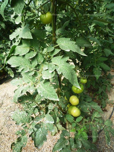 Tomate cuajado en planta