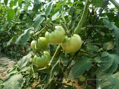Ramo de tomate tipo Daniela